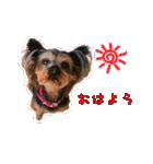 気ままにヨーキー Yorkshire terrier(個別スタンプ:01)