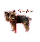 気ままにヨーキー Yorkshire terrier(個別スタンプ:03)