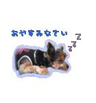 気ままにヨーキー Yorkshire terrier(個別スタンプ:05)