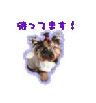 気ままにヨーキー Yorkshire terrier(個別スタンプ:06)