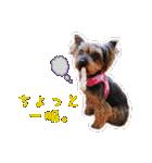 気ままにヨーキー Yorkshire terrier(個別スタンプ:07)