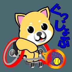 柴犬の車いすテニス