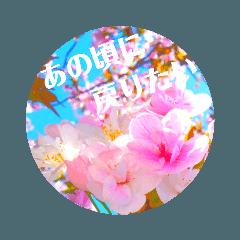 cherry blossom  japan9♡(卒業、別れ)