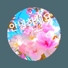 cherry blossom  japan11♡(韓国語Korean)