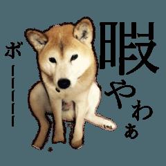 【関西弁】柴犬スタンプ