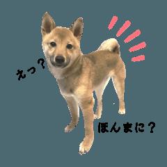 Maneshiba Tsuki  豆柴・月(少し関西弁)