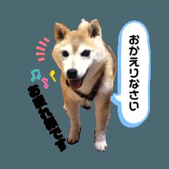 COOLな柴犬 ミッキー♀