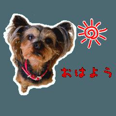 [LINEスタンプ] 気ままにヨーキー Yorkshire terrier (1)
