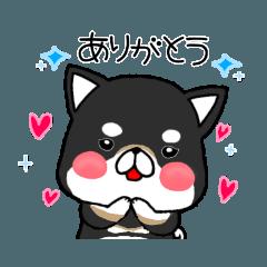 愛しの柴犬(ブラックタン)〜少し夏〜